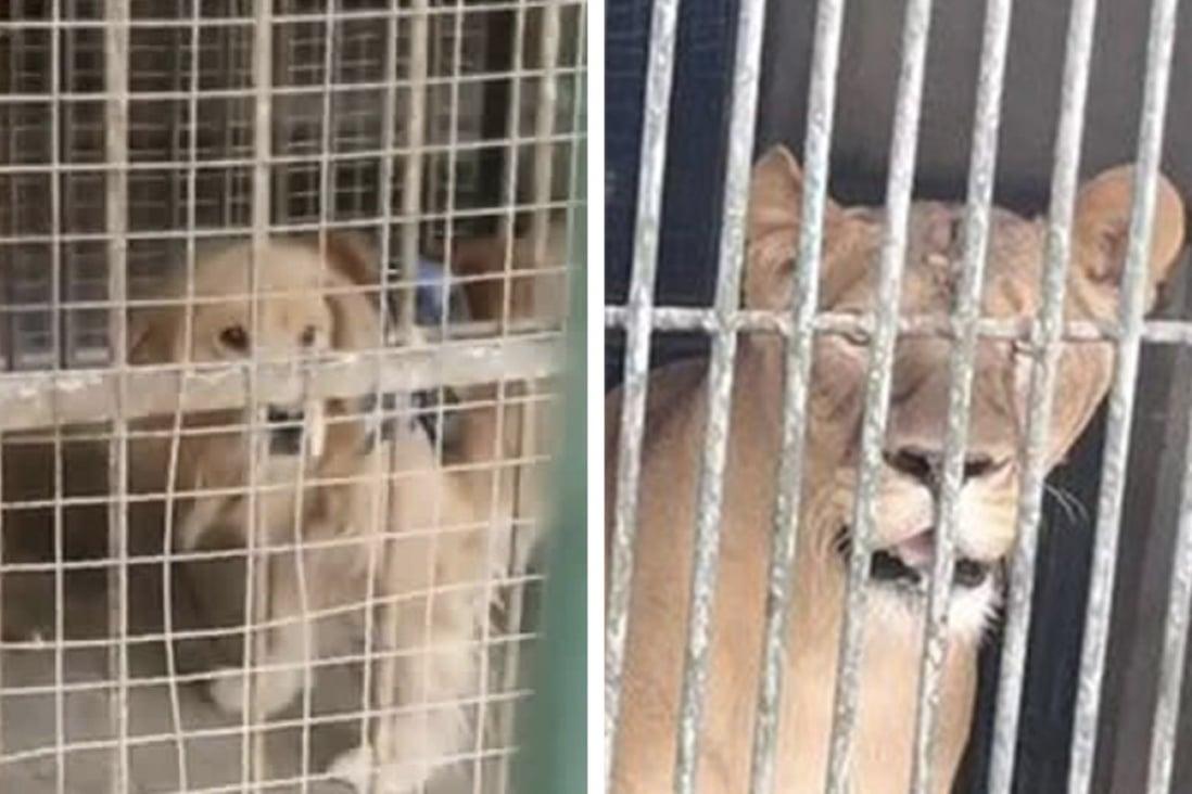 I visitatori di uno zoo nella provincia di Sichuan, in Cina, sono rimasti sbalorditi nel trovare un cane con un'imbracatura in attesa di salutarli dall'altra parte del recinto dei leoni.  Foto: dispensa.