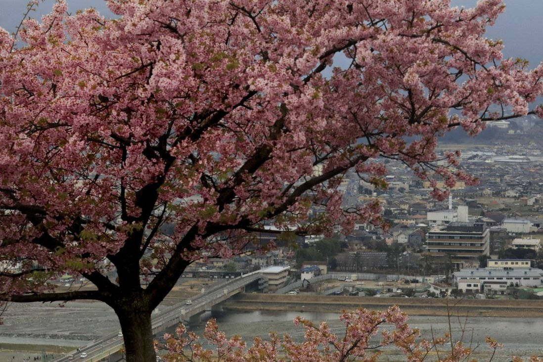 Japan S Cherry Blossoms Under Threat From Hungry Rats Who Can T Find Acorns In Its Southern Islands South China Morning Post