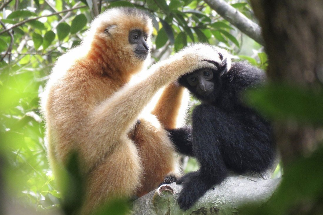 A female gibbon grooms a juvenile at the Bawangling National Nature Reserve in Hainan, China. The island is a biodiversity hotspot with some highly threatened endemic species, but has received relatively little conservation attention, one expert says. Photo: Kadoorie Farm and Botanic Garden