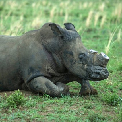Call to legalise rhino horn trade splits world's environmentalists | South  China Morning Post