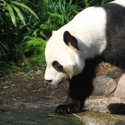 Chinese Giant Pandas Stuck In Canada As Fresh Bamboo Supplies Run Low South China Morning Post