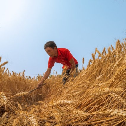 """A man works in the wheat field in Yanzhuang village, Anyang city, in central China's Henan province. The nation's agriculture minister, Han Changfu, wrote in an opinion piece published on Friday in People's Daily that China is """"confident and capable of ensuring food security"""". Photo: Xinhua"""