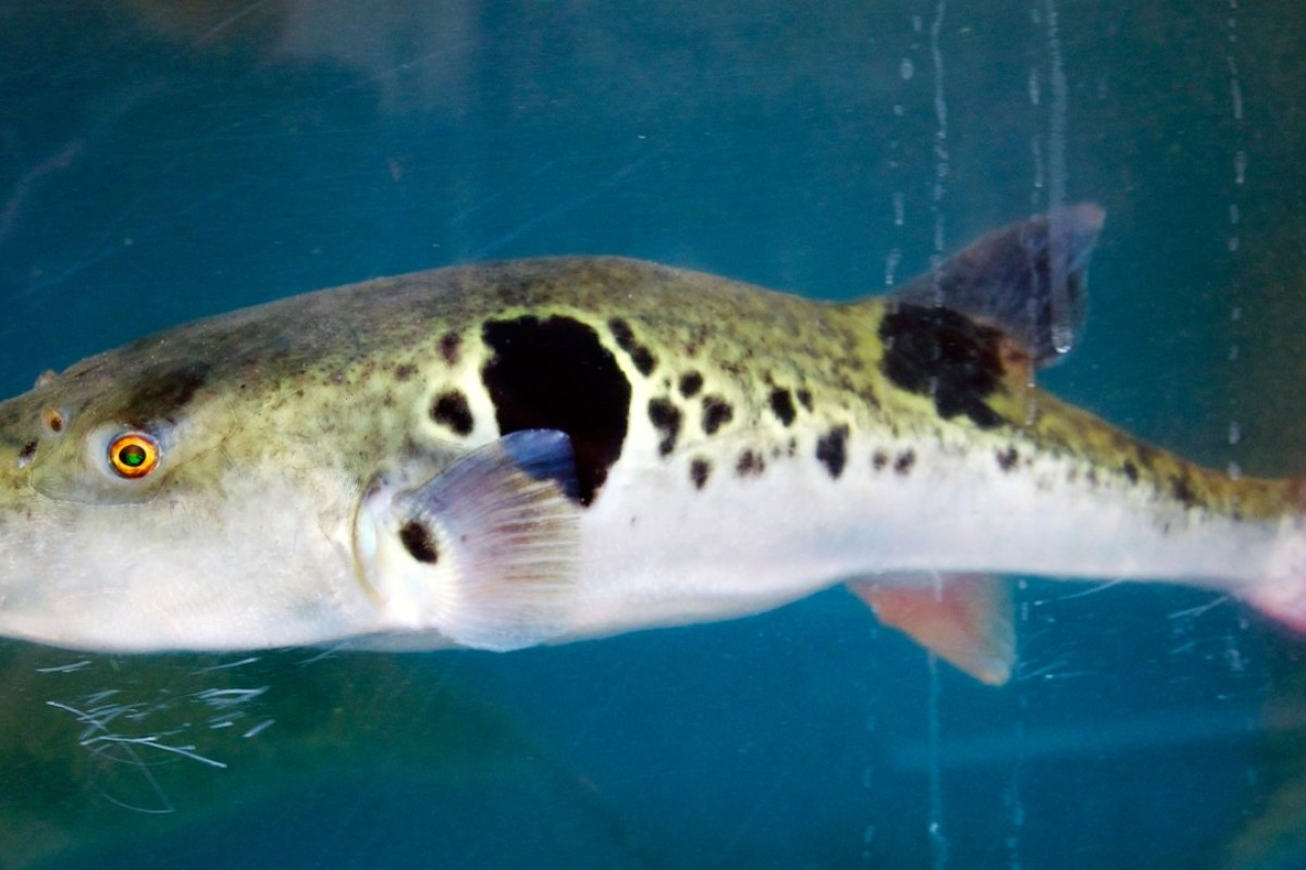 How fugu or pufferfish gets to your
